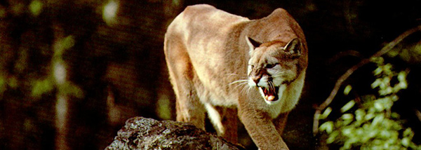 Is The Endangered Florida Panther A Myth Sunshine
