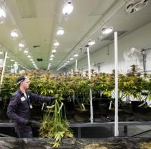 Nevada Organic Remedies' grow house in Las Vegas