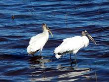 Wood storks at the reservoir