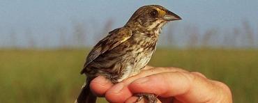 Cape Sable Seaside Sparrow