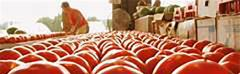 Florida panhandle tomato growers