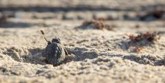 Loggerhead turtle hatchling heads for the sea. Credit: Gustavo Stahelin/UCF